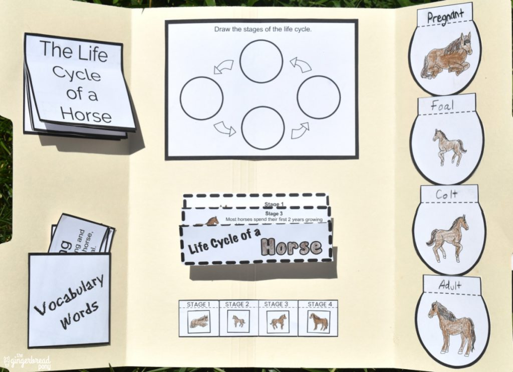 Horse life cycle lapbook 2